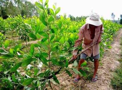 Kỹ thuật trồng cây keo giống, hướng dẫn trồng cây keo đúng cách