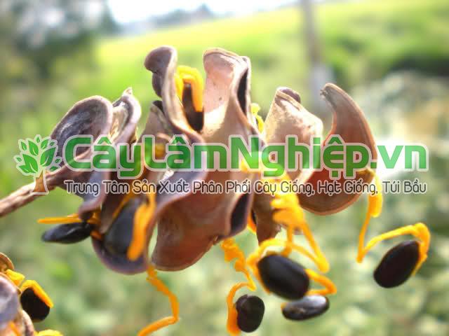 Bán hạt giống keo tai tượng ở Hà Nội