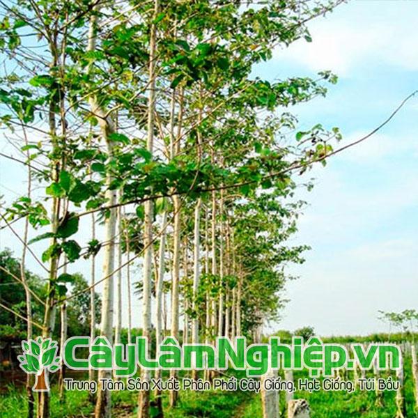 Cây gáo vàng (cây thiên ngân) trồng dày ven bờ